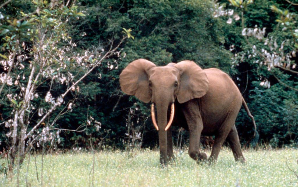 El negocio del marfil aniquila 30.000 elefantes al año