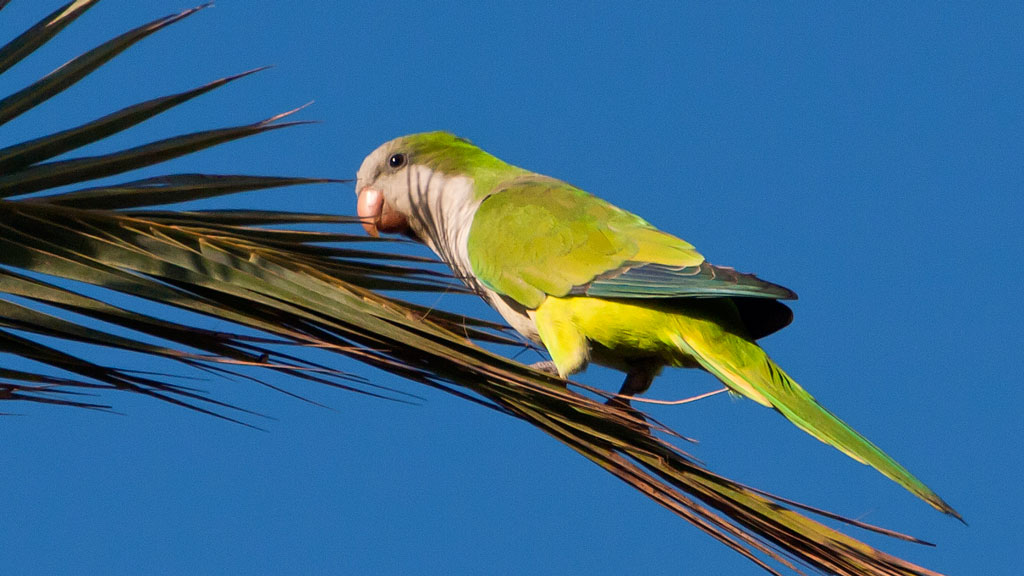 cotorra argentina aves