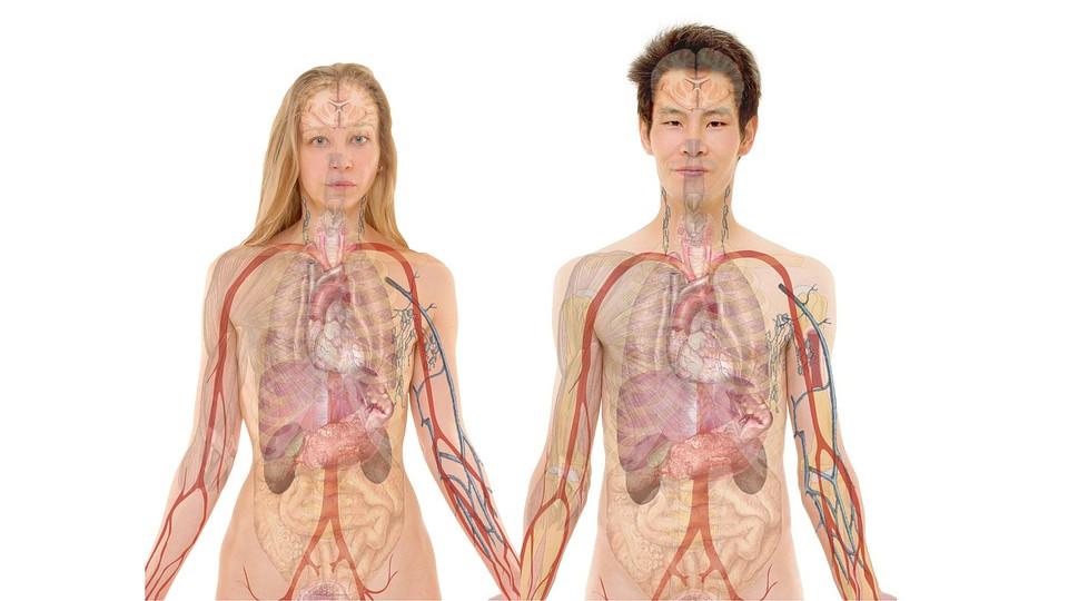 órganos cuerpo humano corazón